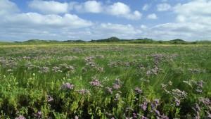 Blumenwiese auf Norderney
