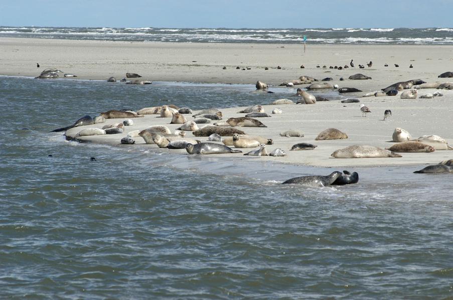 Seehunde Nordsee