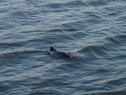 Schweinswal Norderney