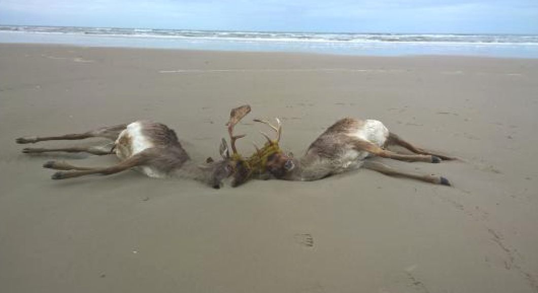 dammwild verendet am Strand