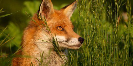 Schlauer Fuchs auf Norderney
