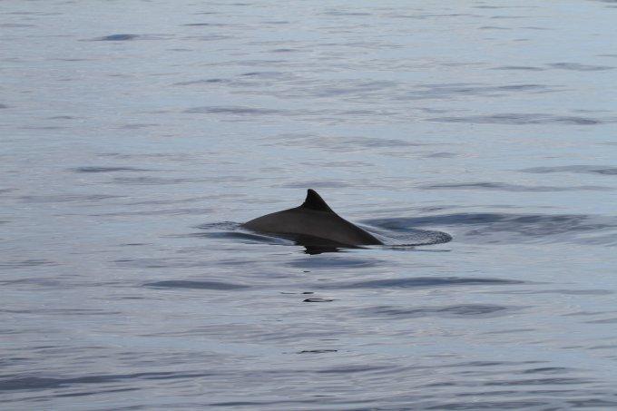 schweinswal Nordsee