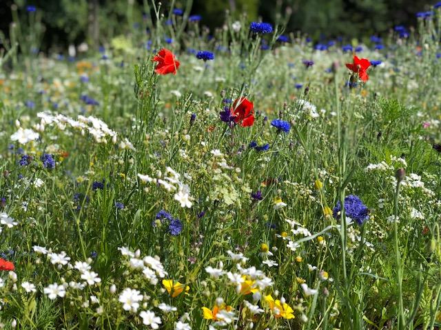 Blumenwiese neuer Kurpark