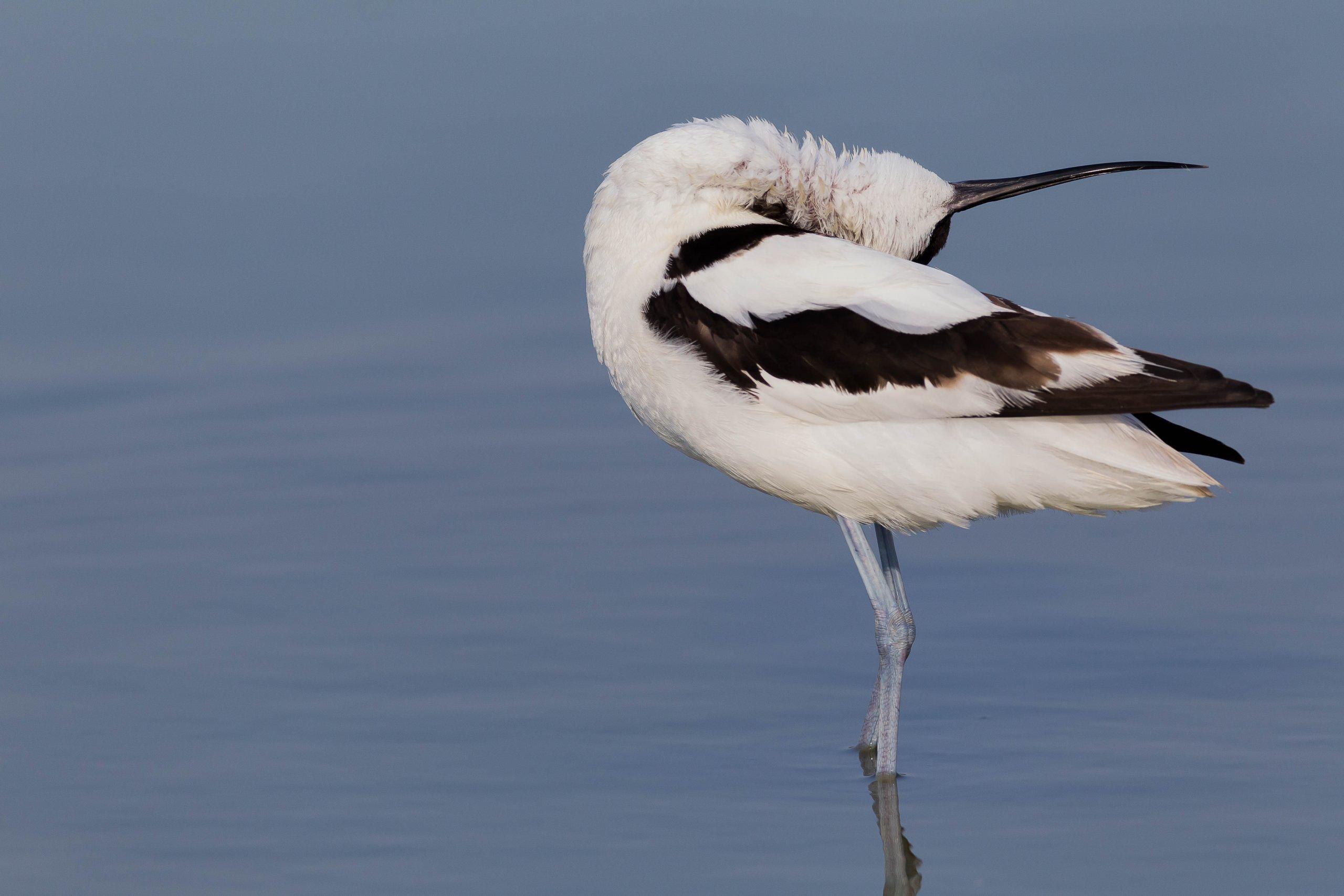 12. Zugvogeltage im Wattenmeer Säbelschnäbler_Foto Sven Kleinert