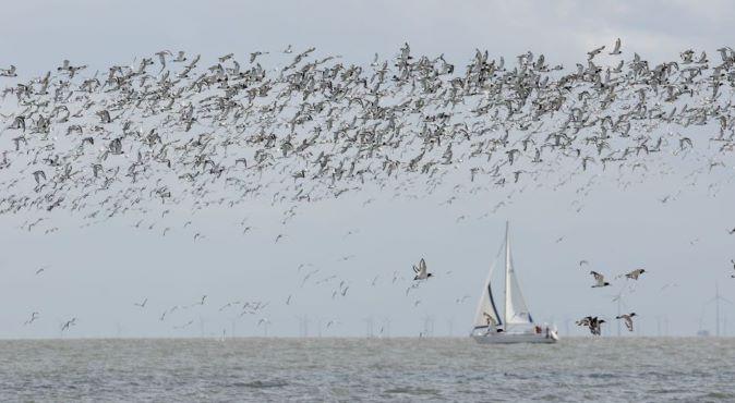 12. Zugvogeltage im Wattenmeer Austernfischer Foto_Jan Weinbecker