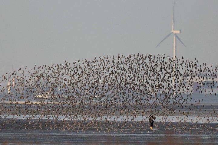 12. Zugvogeltage im Wattenmeer Watvogelschwarm Foto: Onno K. Gent